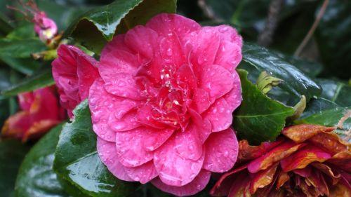 gėlė, gėlės, flora, augti, auga, sodas, sodai, krūmas, krūmai, sodininkystė, sodininkystė, žalias, augalas, augalai, botanikos, botanikos, raudona gėlė su lietaus lašais
