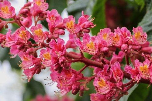 red-flowering horse chestnut  chestnut  aesculus carnea