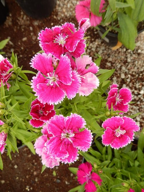 dianthus carnation red flowers