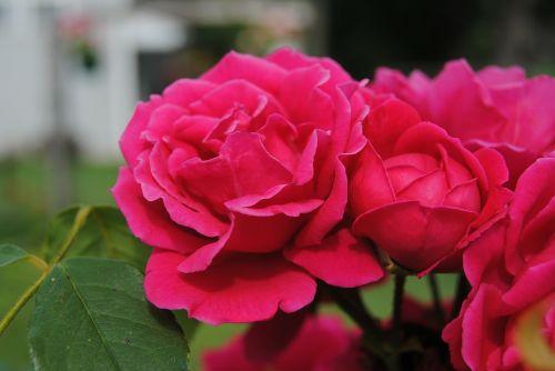 red flowers roses bush