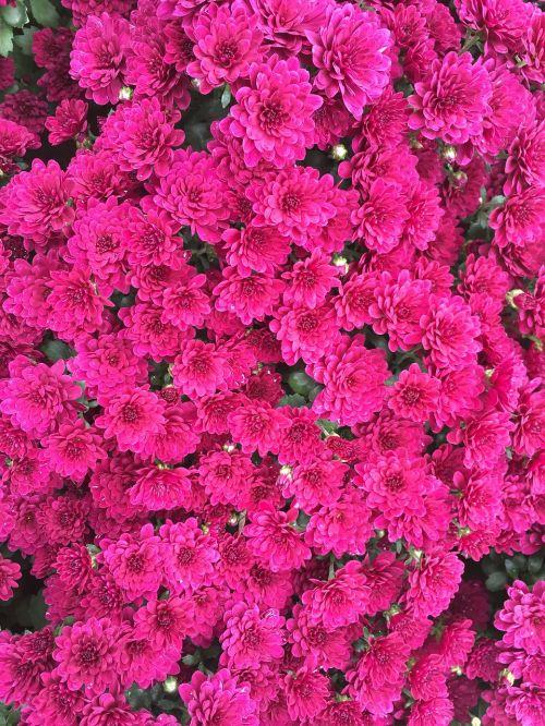 red flowers chrysanthemum fall flowers