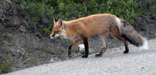 red fox wildlife nature