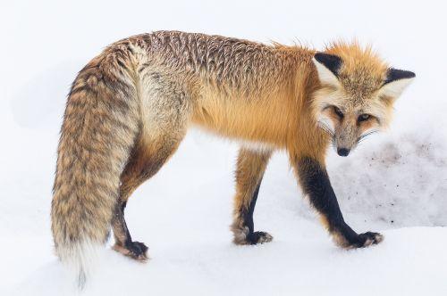 red fox wildlife snow