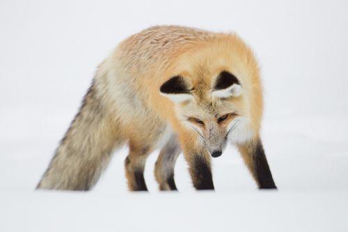red fox portrait wildlife
