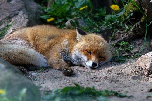 red fox  animal  mammal