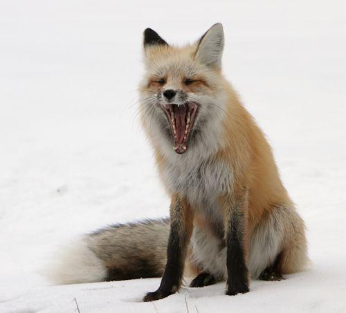 Red Fox Yawning