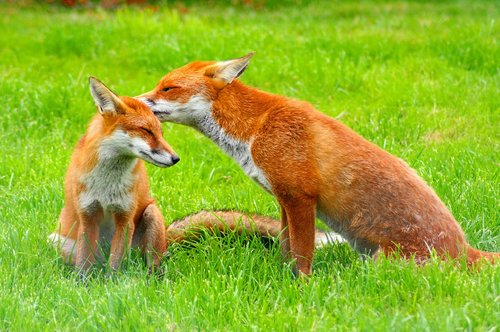 red foxes  wildlife  nature