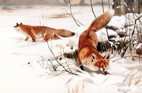red foxes foxes predator