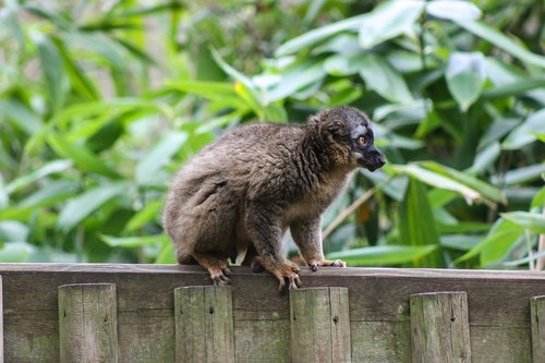 red-fronted lemur  lemur on fence  lemur