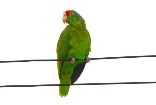 red-fronted macaw parrot ara