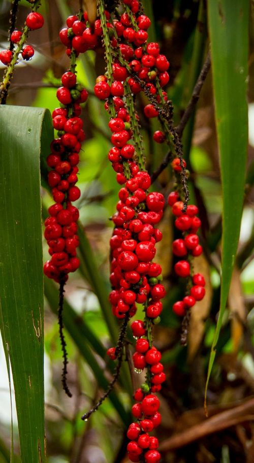 red fruited palm lily cordyline rubra plant