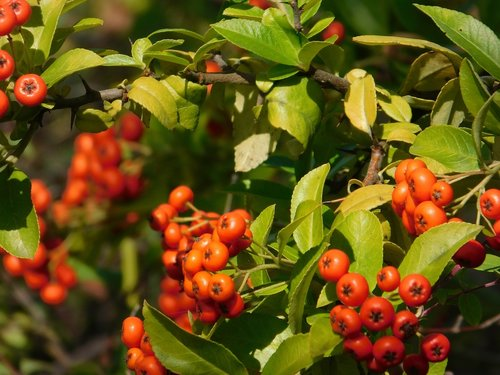red fruits  garden  plant