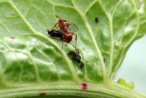 red garden ant myrmica rubra arbeiterinportrait