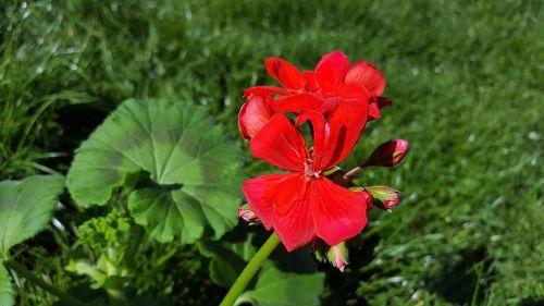 red geranium geranium flower geranium