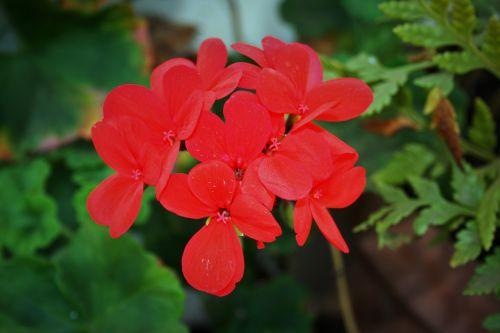 Red Geranium Florets