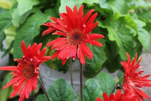 red gerber daisy gerber daisy