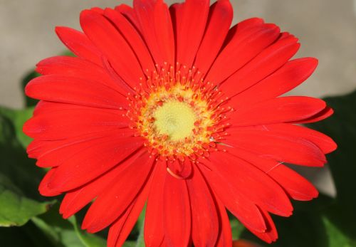 Red Gerber Daisy Macro