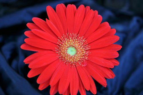 gamta, augalai, gėlės, raudona & nbsp, gėlė, Daisy, Gerber & nbsp, Daisy, raudona & nbsp, daisy, raudona & nbsp, Gerber & nbsp, daisy, Iš arti, makro, raudona & nbsp, žiedlapiai, tvirtas, žiedlapiai, mėlynas & nbsp, fonas, juodas & nbsp, fonas, raudona gerberio daisy ant mėlynos spalvos