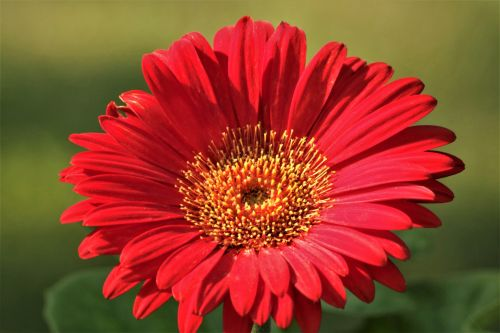 Red Gerber Daisy On Green