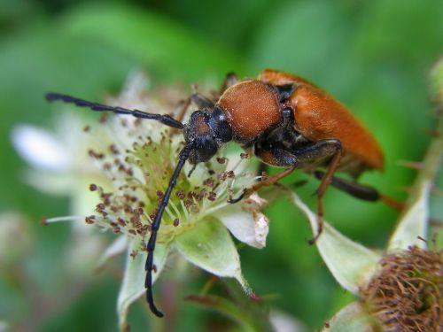red hair ring pyrrhidium sanguineum beetle