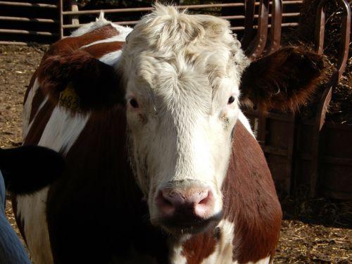 red holstein steer beef cow