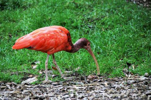 raudona ibis,raudona paukštis,ibis,raudona,paukštis,gyvūnas,raudona,atogrąžų,snapas,laukinė gamta,sąskaitą,plumėjimas,natūralus,vandens paukščiai