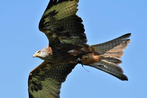 red kite  milvus milvus  animal world