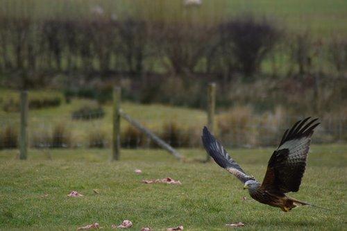 red kite  raptor  brecon