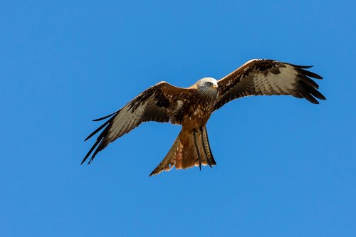 red kite  milan  raptor