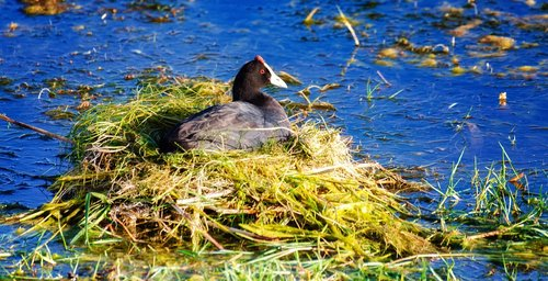 red knobbed coot  water  nest