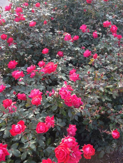 Red Knockout Roses