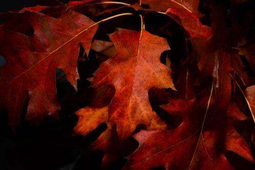 red leaf autumn fall
