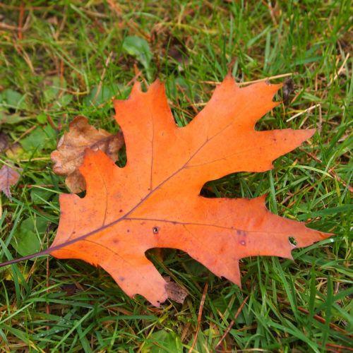 raudonas lapas,ruduo,miškas,ąžuolo lapas,lapai,gamta,spalvos