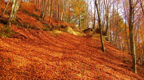 red leaf cover the ground  read leafs  autumn wood
