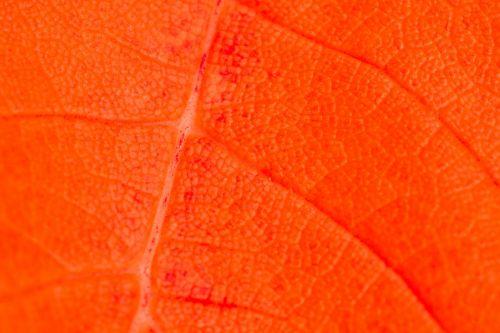 Red Leaf Detail