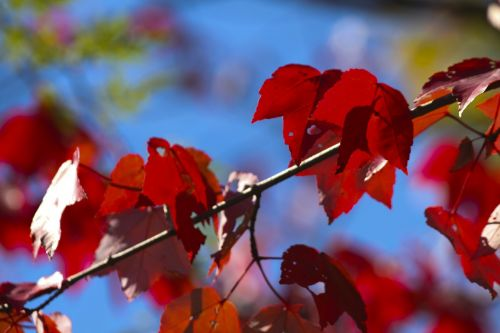 red leaves fall leaf