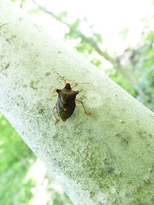 red legged tree bug bug pentatoma rufipes