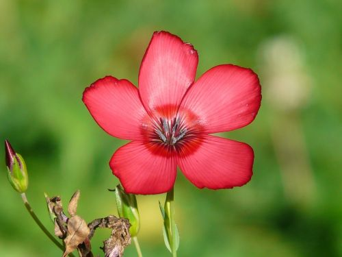 red lein blossom bloom