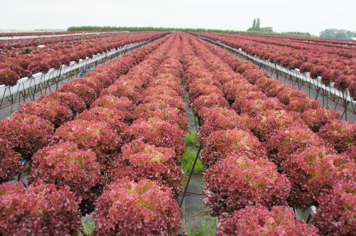 red lettuce curly endive horticulture