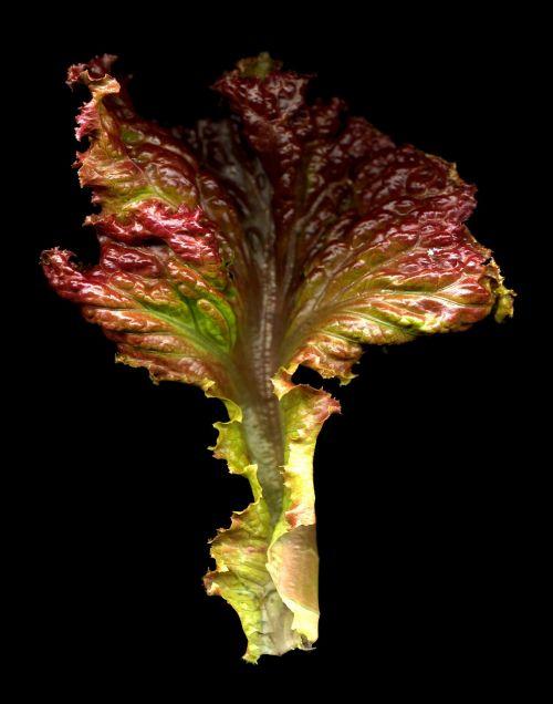 red lettuce leaf salad food