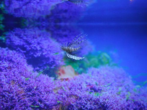 red lionfish aquarium fish