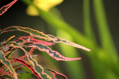 Red Long Leaves