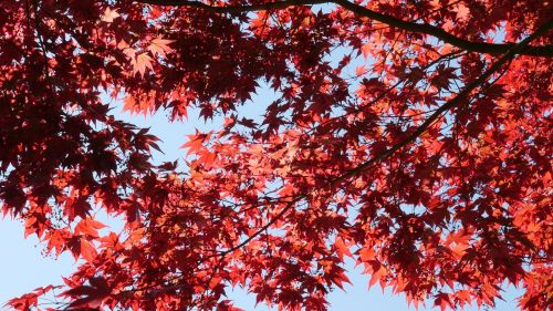 red maple leaves maple