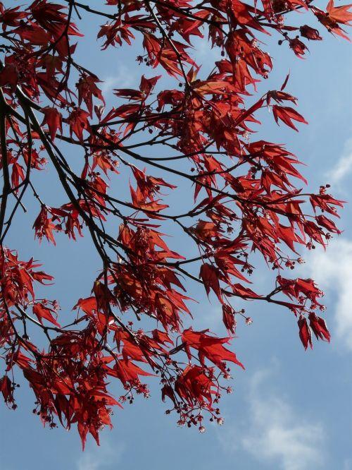 red maple ornamental plant fan maple