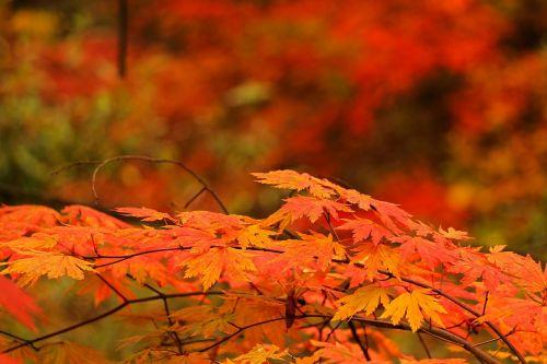 raudonas klevo lapas,ruduo,rudens lapai,mediena,lapai,lapai,lapai