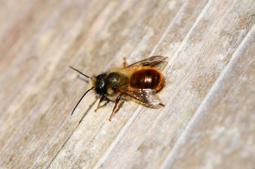 red mason bee osmia rufa bee