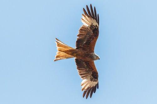 red milan  red kite  raptor
