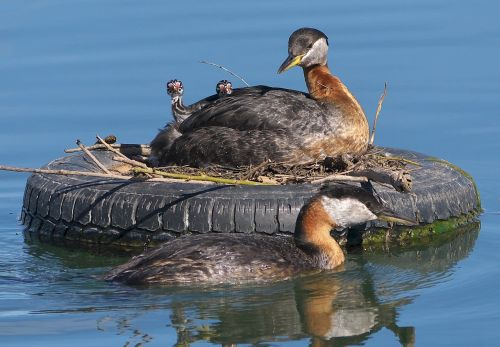 red-necked grebes birds family