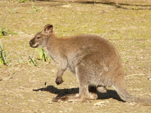 red necked wallaby kangaroo macropus rufogriseus