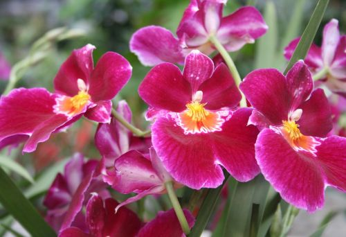 raudona orchidėja,orchidėjos,rožinis,gėlė,egzotiškas,atogrąžų,Uždaryti,žydėti,žiedas,žydėti,augalas